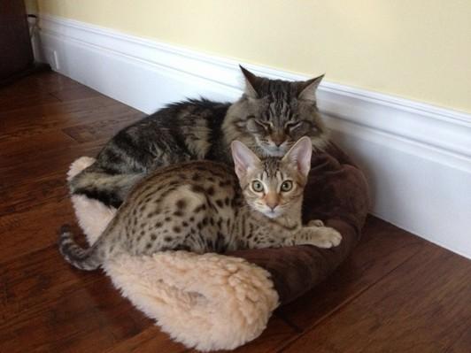 domestic cat that looks like a cheetah