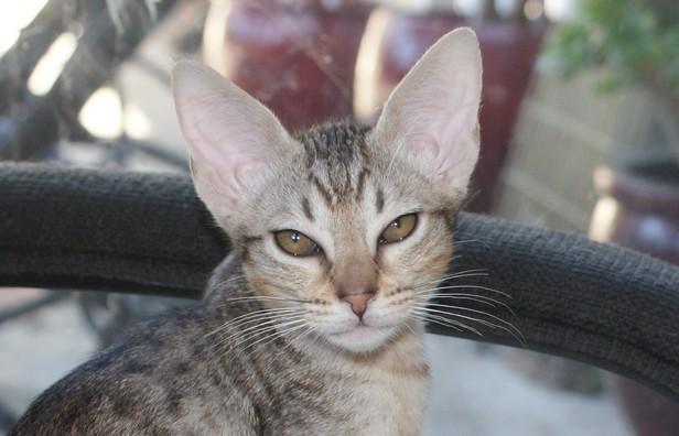 Ebony silver spotted ocicat